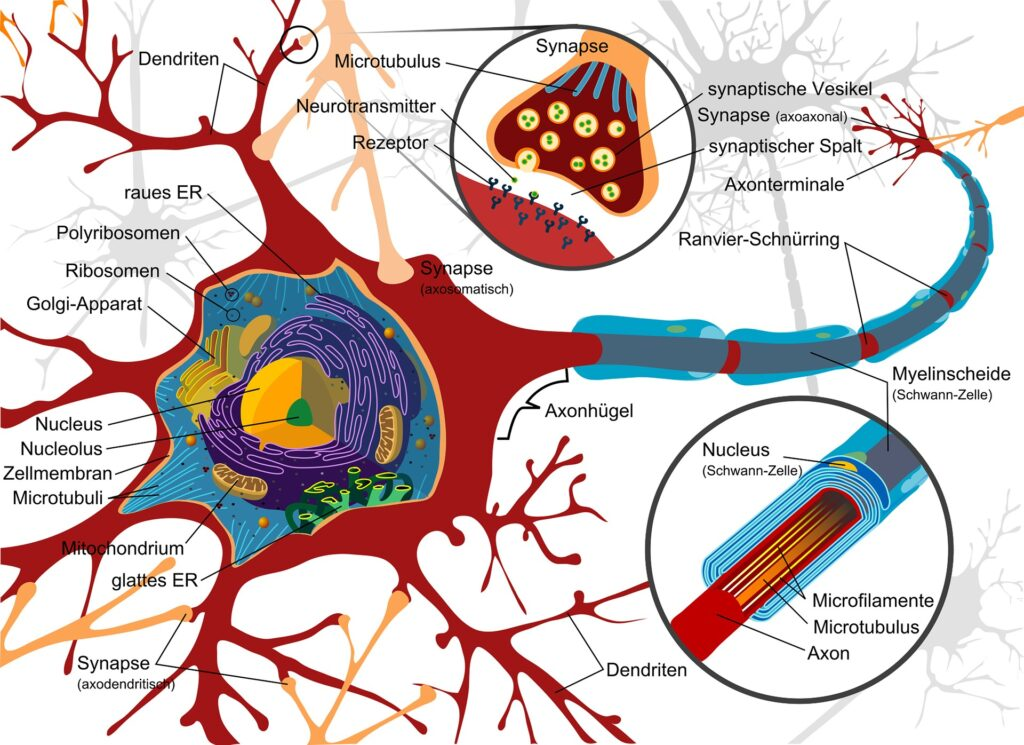 nerve-cell-diagram